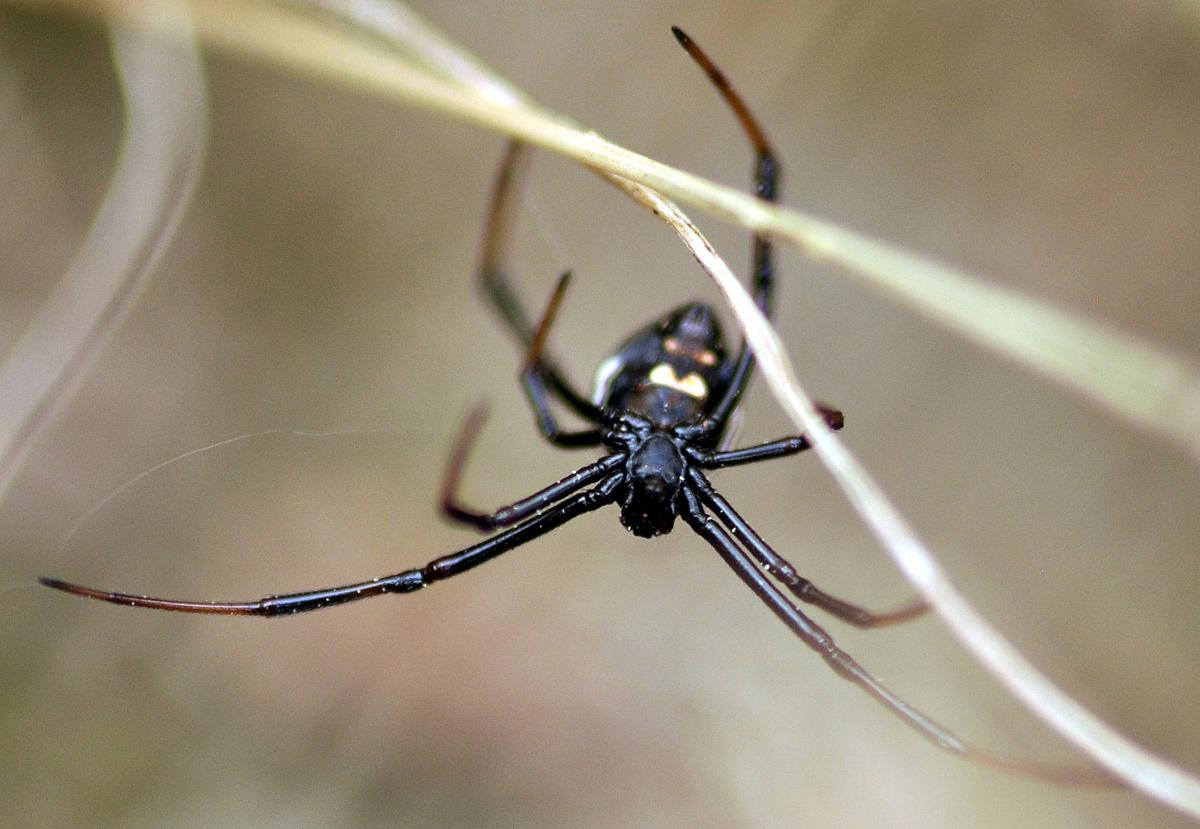 The Mediterranean black widow (Latrodectus tredecimguttatus) is one of eleven spider species recorded for the first time in Albania. Photo: M. Komnenov