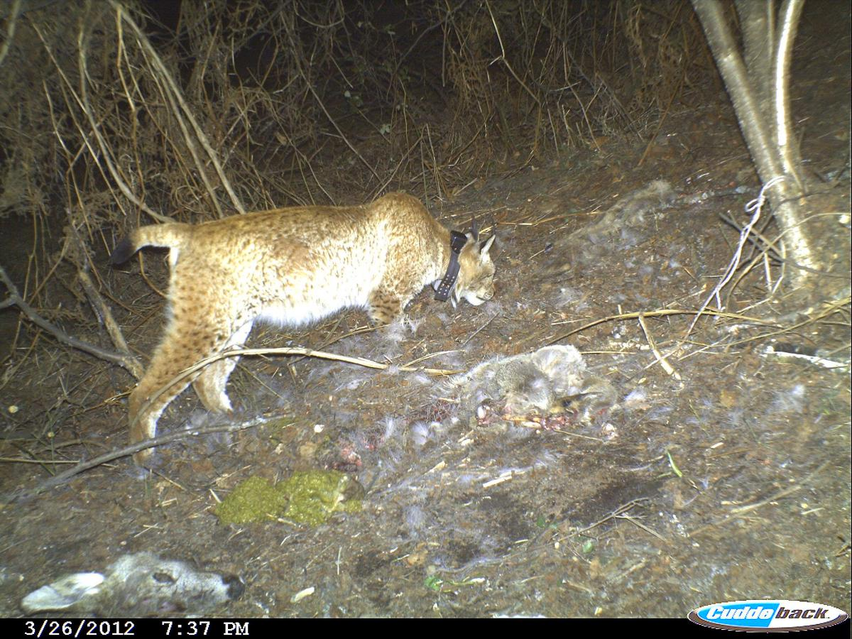 If the EBRD and World Bank-funded dam projects inside Mavrovo National Park were built, it could be the end for the critically threatened Balkan Lynx. Credit: MES