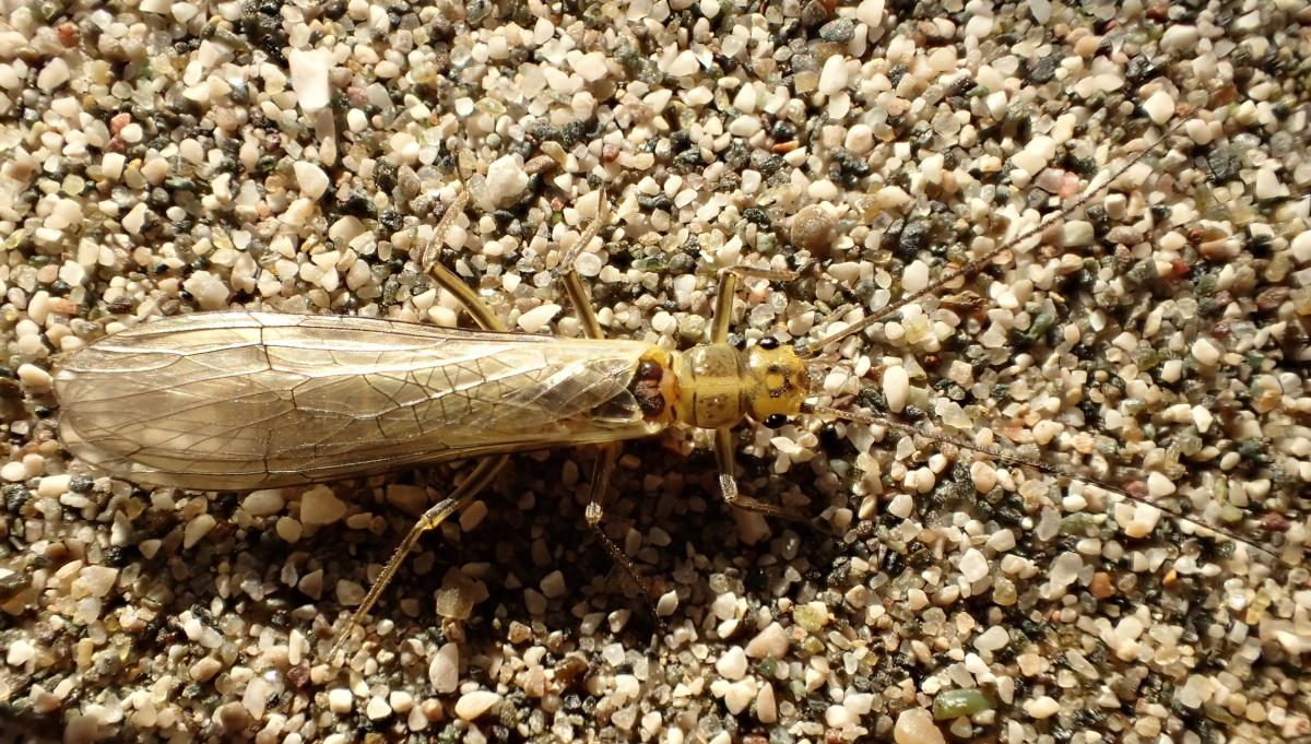 The newly discovered stonefly species carries the name of its beautiful but threatened host: Isoperla vjosae © Wolfram Graf