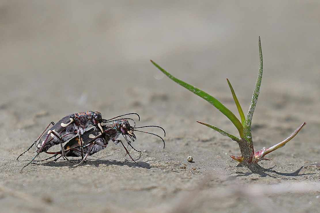 Biodiversity: beach life at the Vjosa. This rare species of tiger beetle was discovered during the research week, next to many other species. © Gernot Kunz