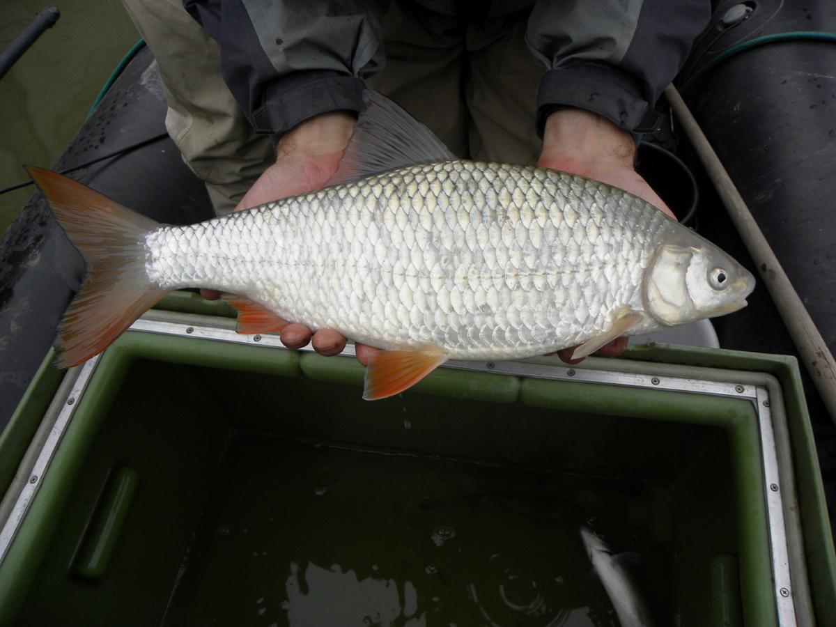 Danube Roach (Rutilus virgo), an endangered fish species that would lose its spawning ground if Mokrice was built. Credit: Kurt Pinter, Boku IHG