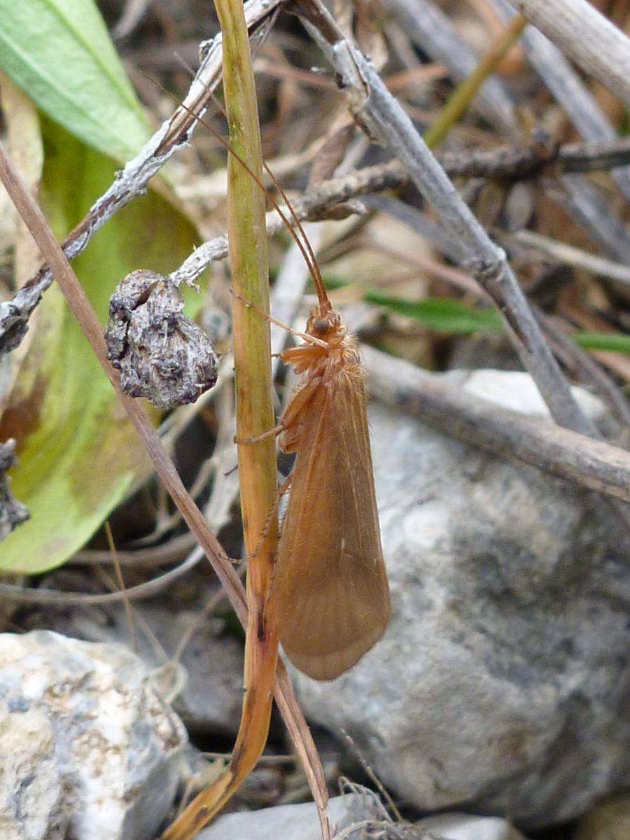 Closely related caddisfly species Drusus discolor © Wolfram Graf.