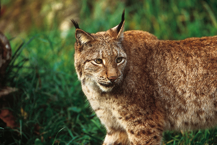 The dams put the habitat of the endangered Balkan Lynx at risk. Photo: Wolf Steiger