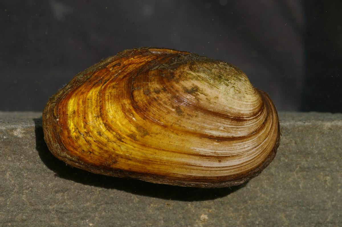 Thick Shelled River Mussel ( Unio crassus), Photo: Jörg Freyhof