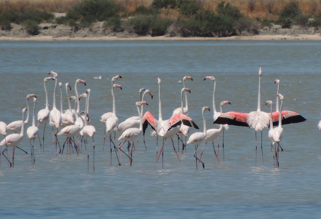 Greater Flamingo (Phoenicopterus roseus) in the Narta lagoon, Vjosa delta. Photo: Ferdinand Bego