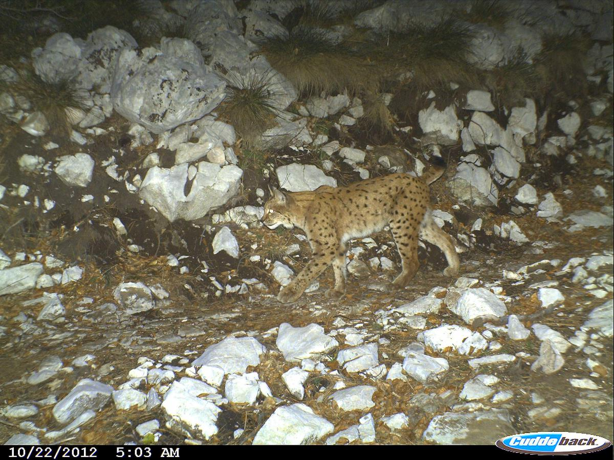 The endangered Balkan Lynx (Lynx lynx balcanicus). Photo: MES/SCOPES, SNF