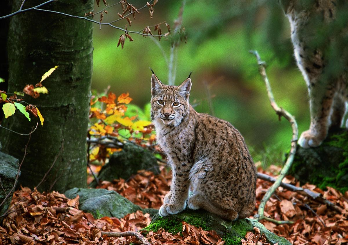 Dam projects threaten the Mavrovo National Park and the last remaining population of the Balkan lynx. (photo: Joachim Flachs)