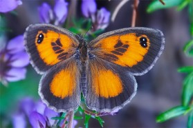 Southern Gatekeeper (Pyronia Cecilia)  – a rare species endemic to Southern Europe, North Africa and Western Turkey. It was found at the Vjosa's mouth into the Adriatic Sea. During the GEO Days, a total of 30 species of butterflies from 5 different families were identified.