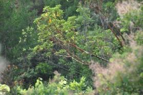 Greek Strawberry Tree (Arbutus andrachne) – unique to this area of Albania.
