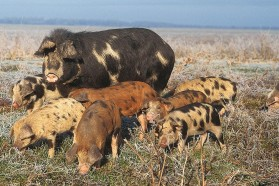 Typical and very rare domestic animal breed, the Turopolje pig, feeding on floodplain pastures along the Sava.