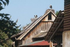 Stork paradise: temporal flooding makes the Sava´s floodplains a perfect feeding ground for several heron species or White storks (Ciconia ciconia) - which breed on nearly every roof in the riparian villages along the main river course.