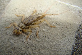 Stoneflies are plentiful in the Bence. They are an indicator species for exceptionally clean water