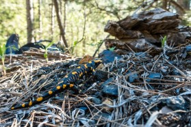 Fire salamander at the Aoos near Vovoussa: the species needs small streams of clean water for their larvae