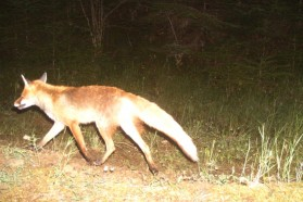 Fox captured by camera trap.