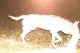 Wolf captured by camera trap.