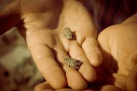 Many European green toads (Bufo viridis) were sighted.