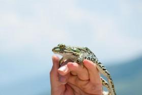 Marsh frog (Pelophylax ridibundus).