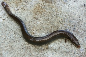 European Eel (Anguilla anguilla) – protected by IUCN and Albanian Red Book.