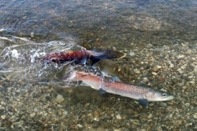 A pair of spawning Huchen