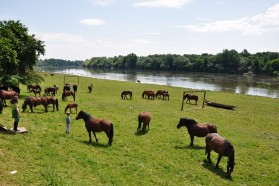 Posavina horses in their natural habitat, the pastures along the Sava. They are perfectly adapted to flooding.